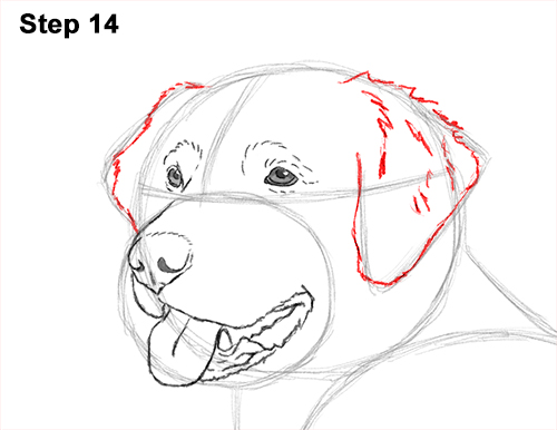 How to Draw a Golden Retriever Dog 14
