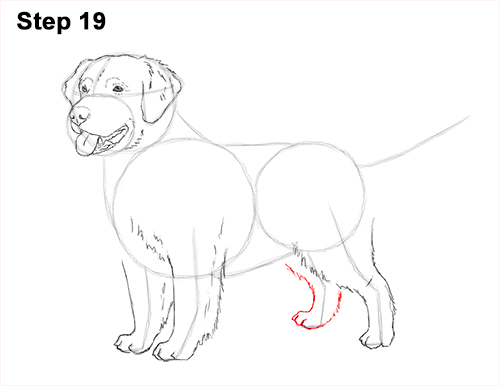 How to Draw a Golden Retriever Dog 19