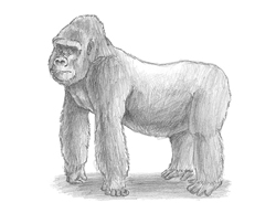 How to Draw a Gorilla