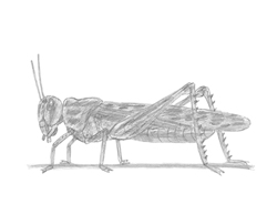 How to Draw a Grasshopper Insect Bug