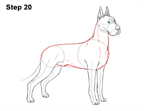 How to Draw a Tall Great Dane Dog 20