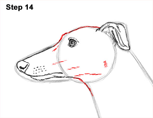 How to Draw Italian Greyhound Whippet Pupppy Dog 14