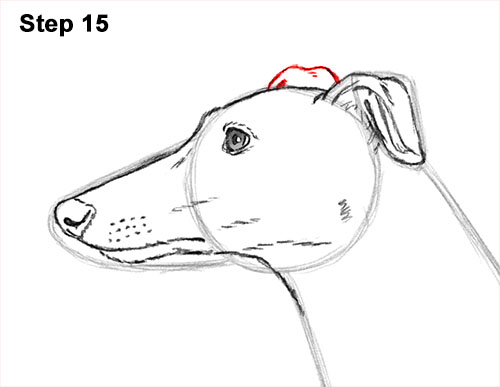 How to Draw Italian Greyhound Whippet Pupppy Dog 15