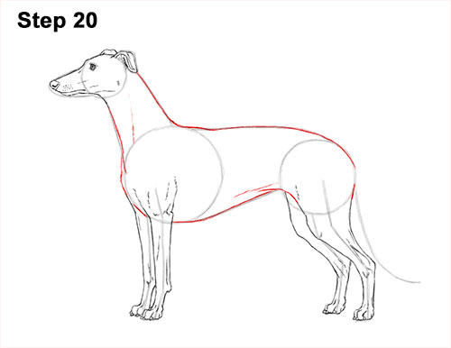 How to Draw Italian Greyhound Whippet Pupppy Dog 20