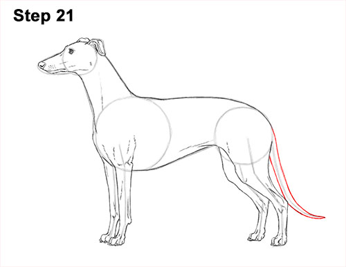How to Draw Italian Greyhound Whippet Pupppy Dog 21