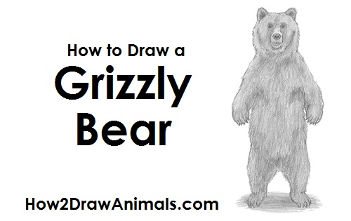 Draw Grizzly Bear