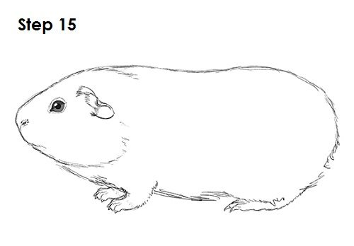 Simple Line Drawing Pig : How to draw a guinea pig