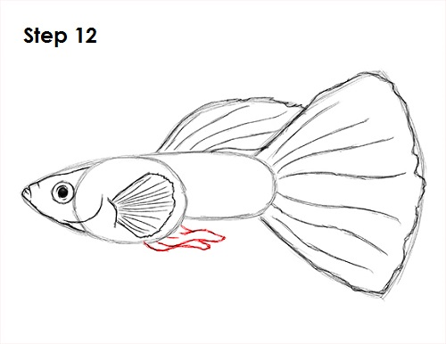 Fish Tail Drawings Draw Guppy Fish 12