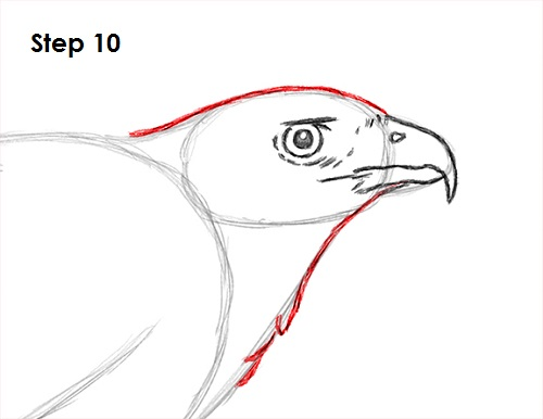 draw harris hawk 10