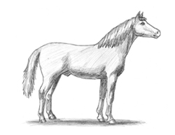 How to Draw a Horse Arabian
