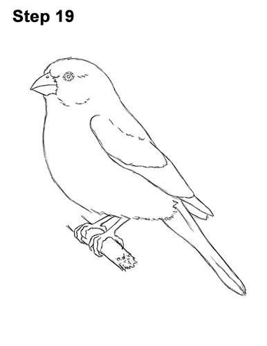 How to Draw Red House Finch Bird Color 19