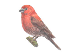 How to draw a House Finch Bird