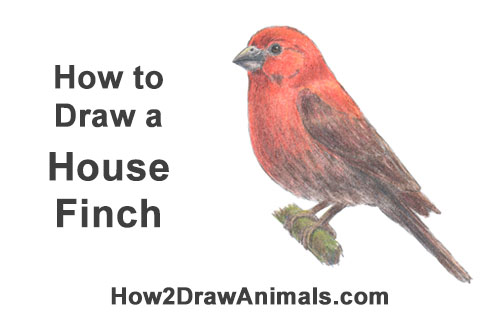 How to Draw Red House Finch Bird Color