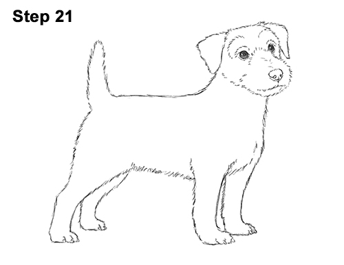 How to Draw a Cute Jack Russell Terrier Puppy Dog 21