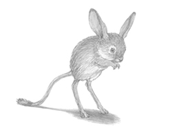 How to Draw a Long Eared Jerboa