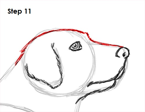 Draw Labrador Retriever 11
