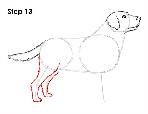 Draw Labrador Retriever 13