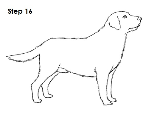 how to draw a dog (labrador retriever)draw labrador retriever 16
