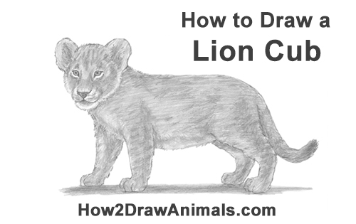to Draw a Lion Cub