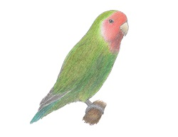 How to Draw a Lovebird