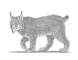 How to Draw a Canadian Lynx Bobcat Wildcat