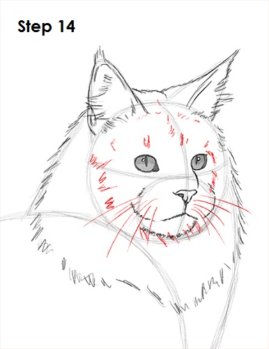 Draw Maine Coon Cat 14