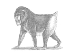How to Draw a Male Mandrill Baboon Monkey Walking