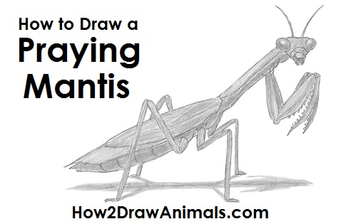 Draw Praying Mantis