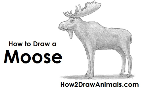 How to draw a moose draw moose thecheapjerseys Gallery
