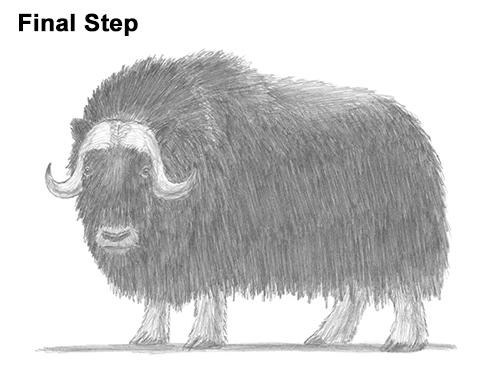 How to Draw Musk Ox Standing Horns