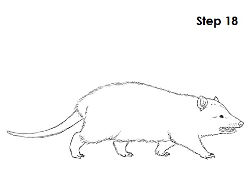 How To Draw An Opossum