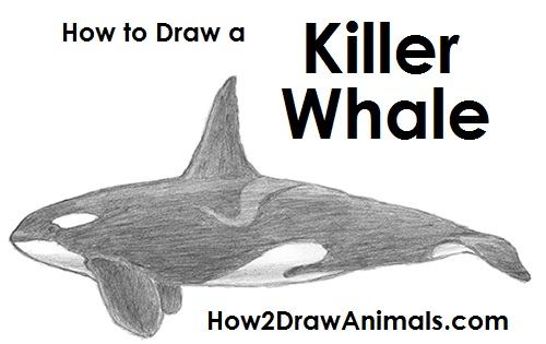 Orca Jumping Drawing Draw Orca