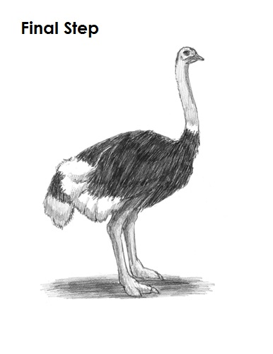 How To Draw An Ostrich