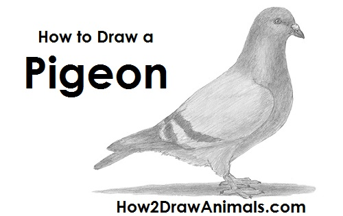 Draw Pigeon Bird