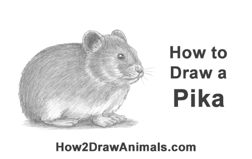 How to Draw a Cute American Pika Himalayan