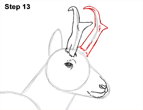 How to Draw a Pronghorn Anelope Buck Walking 13