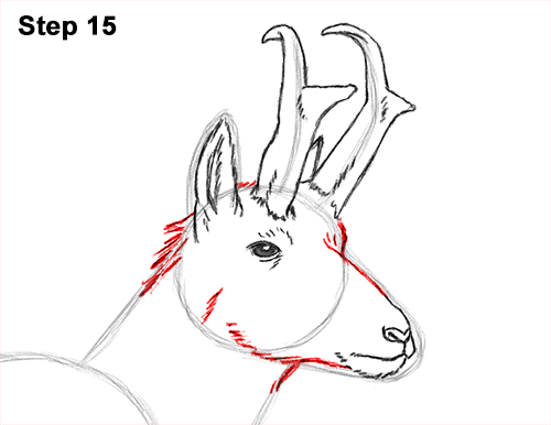 How to Draw a Pronghorn Anelope Buck Walking 15