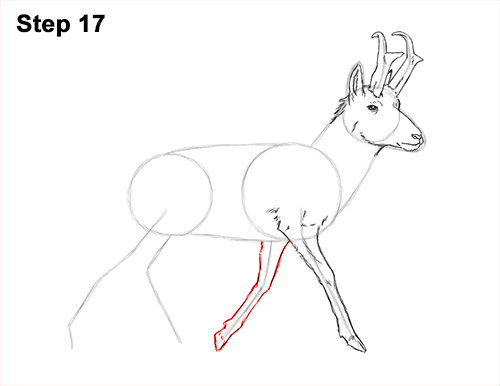 How to Draw a Pronghorn Anelope Buck Walking 17