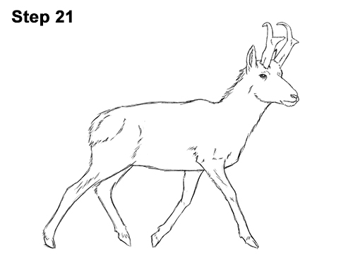 How to Draw a Pronghorn Anelope Buck Walking 21