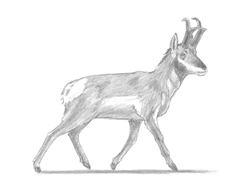 How to Draw a Pronghorn Antelope