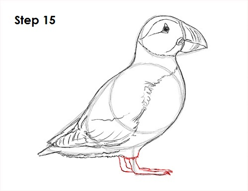 Draw Puffin Bird 15