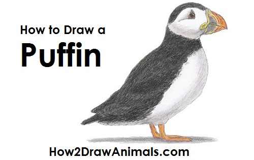 Draw Puffin Bird