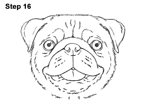 Pug Face Line Drawing : How to draw a pug head detail