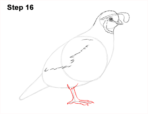 Draw California Quail 16
