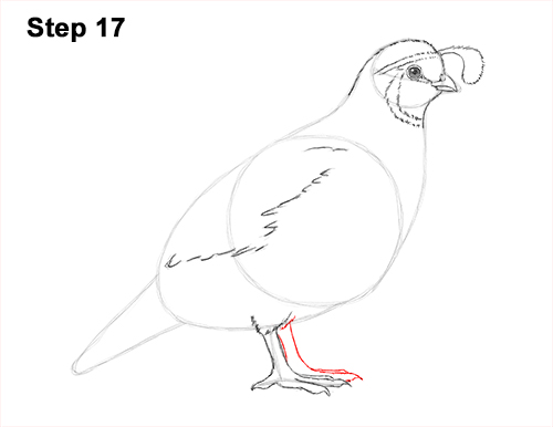 Draw California Quail 17
