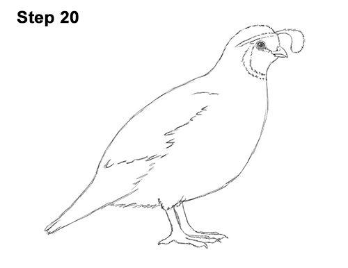 Line Drawing Quail :