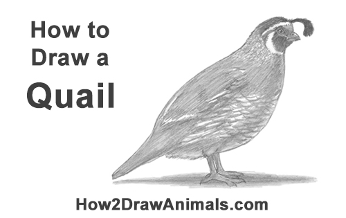 How to Draw a California Quail