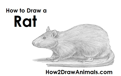 How to Draw a Rat