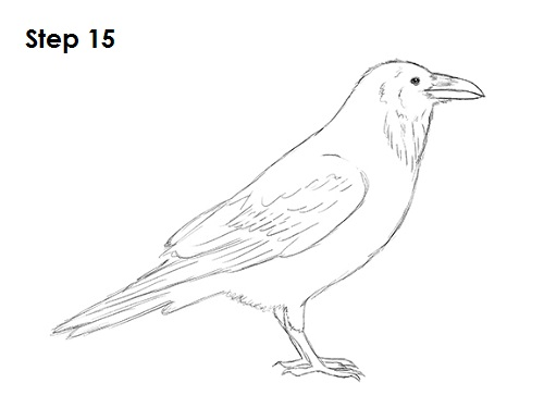 Line Drawing Raven : How to draw a raven or crow
