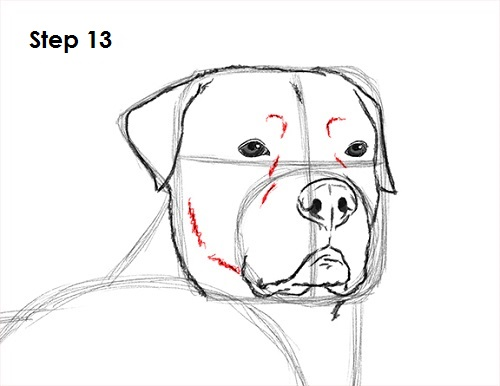 Line Drawing Of A Dog S Face : How to draw a rottweiler